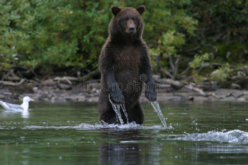 Oso grizzly que pesca en el lago de Alaska imagenes de archivo