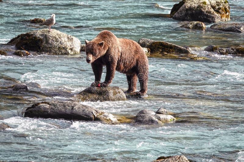 Oso grizzly salvaje en un río fotos de archivo libres de regalías