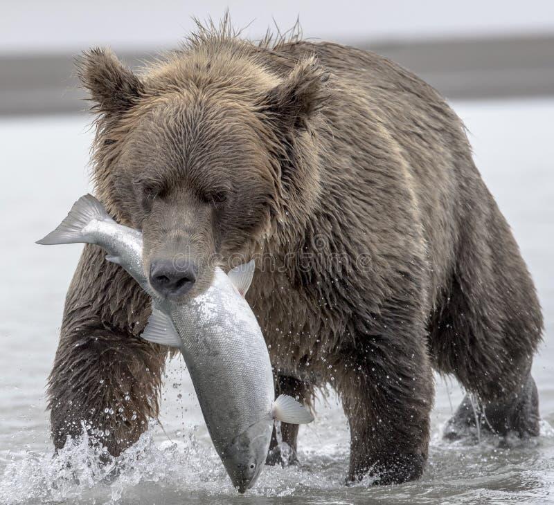 Oso grizzly y salmones imagen de archivo libre de regalías
