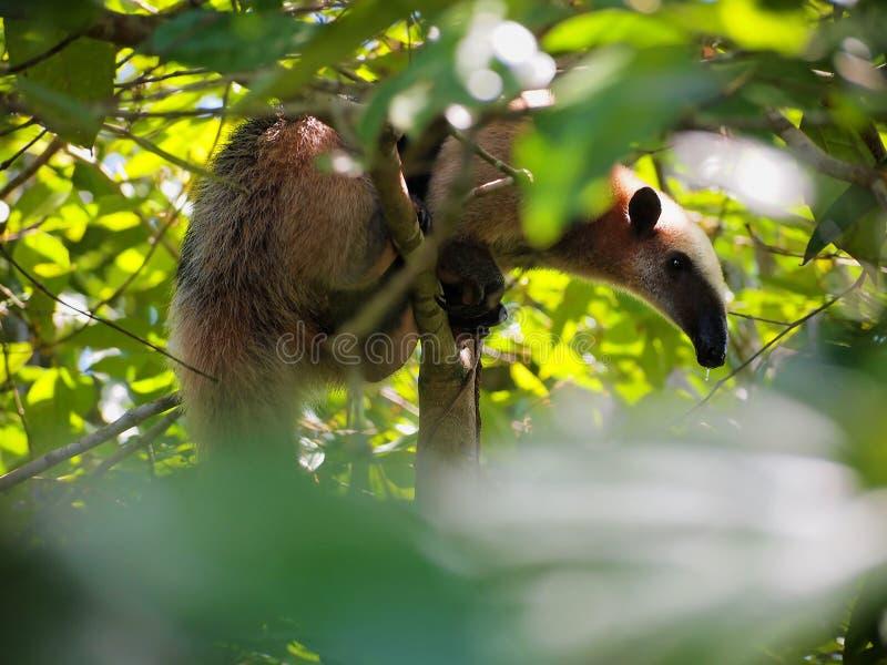Oso hormiguero en un árbol de la selva foto de archivo