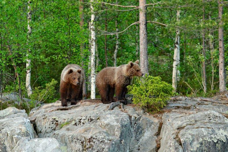 Oso joven solo del cachorro en el perrito del oso del bosque del pino sin la madre Animal del marrón de dos bebés en bosque de la foto de archivo