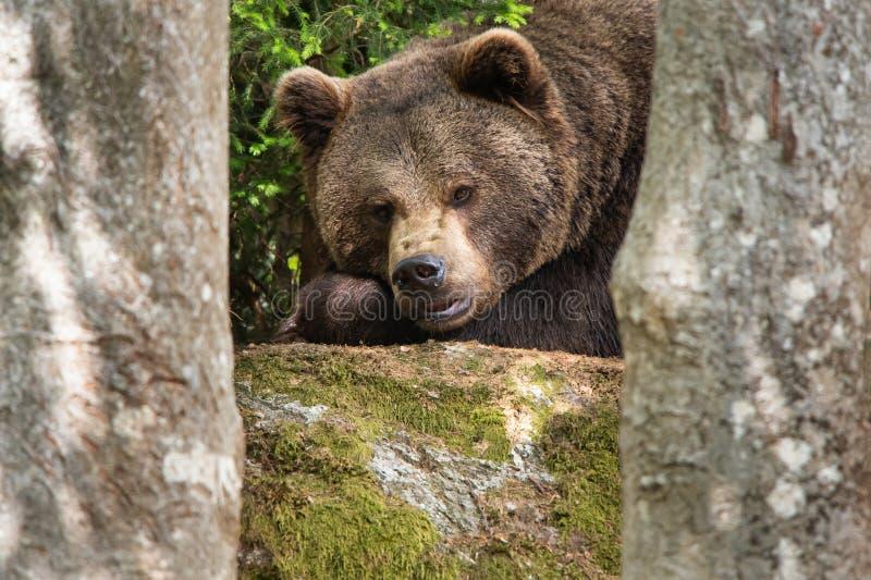 Oso marrón cansado pero observador que miente en el bosque entre los árboles imagen de archivo libre de regalías
