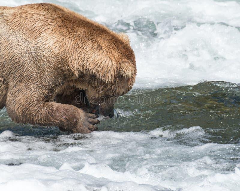 Oso marrón de Alaska que come salmones imagen de archivo