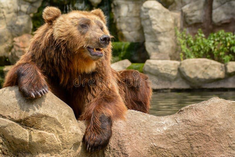 Oso marrón de Kamchatka (beringianus de los arctos del Ursus) imagen de archivo libre de regalías