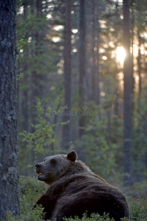 Oso marrón en el bosque de verano al atardecer imagen de archivo