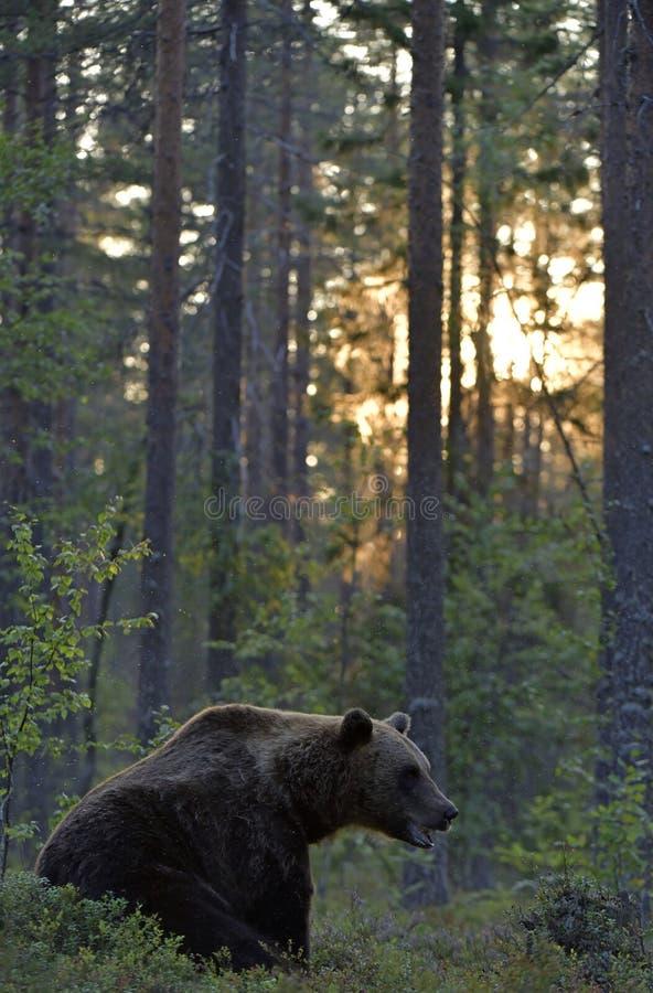 Oso marrón en el bosque de verano al atardecer fotografía de archivo libre de regalías