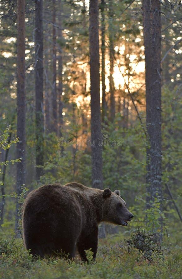 Oso marrón en el bosque de verano al atardecer foto de archivo