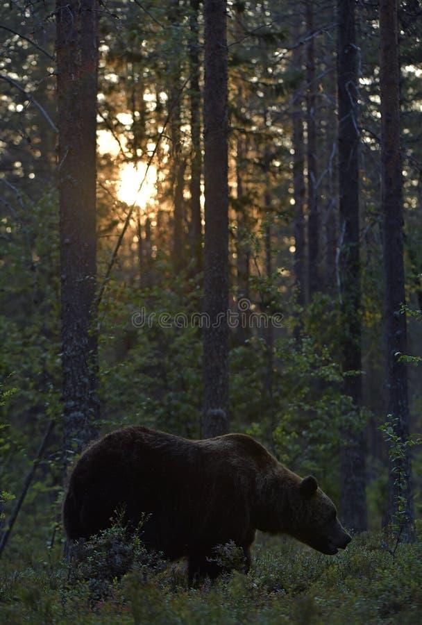 Oso marrón en el bosque de verano al atardecer imagenes de archivo