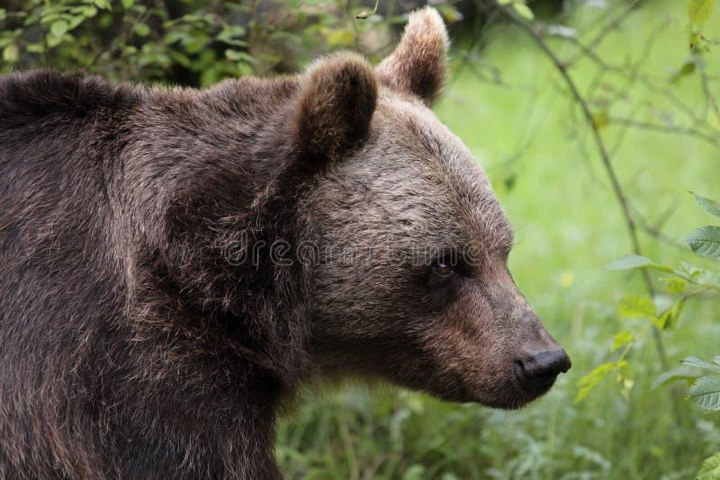 Oso marrón eurasiático foto de archivo libre de regalías
