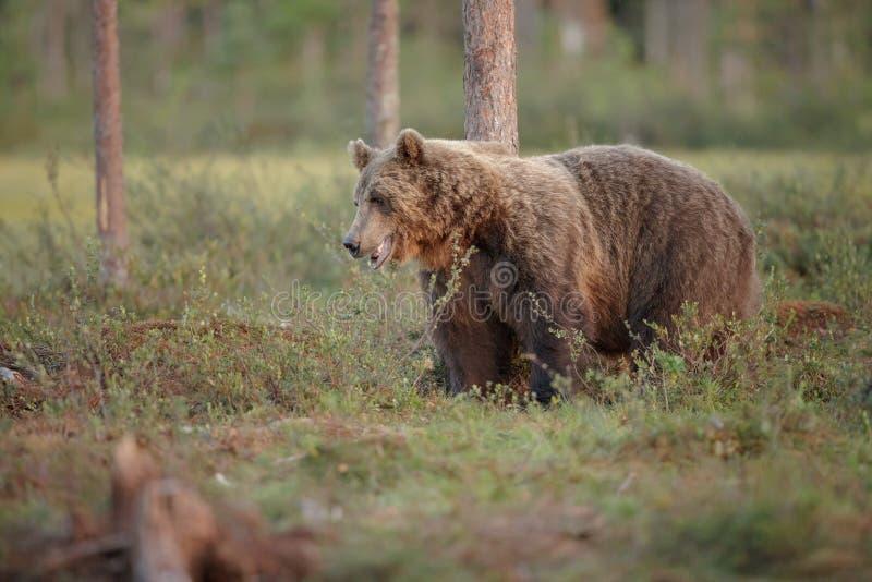 Oso marrón europeo, Finlandia fotos de archivo