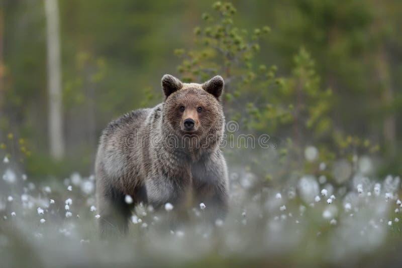 Oso marrón joven en paisaje del bosque en el verano imagen de archivo libre de regalías