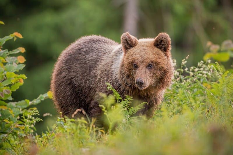 Oso marrón joven mullido, arctos del ursus, en verano en la puesta del sol foto de archivo libre de regalías