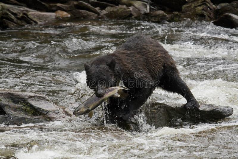 Oso negro, Alaska imagen de archivo