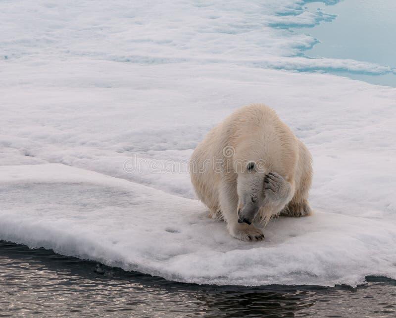Oso polar adulto que rasguña su cabeza, en el hielo marino, Svalbard imagenes de archivo