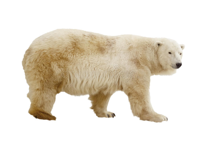 Oso polar. Aislado sobre blanco imágenes de archivo libres de regalías