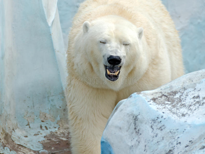 Oso polar blanco foto de archivo libre de regalías