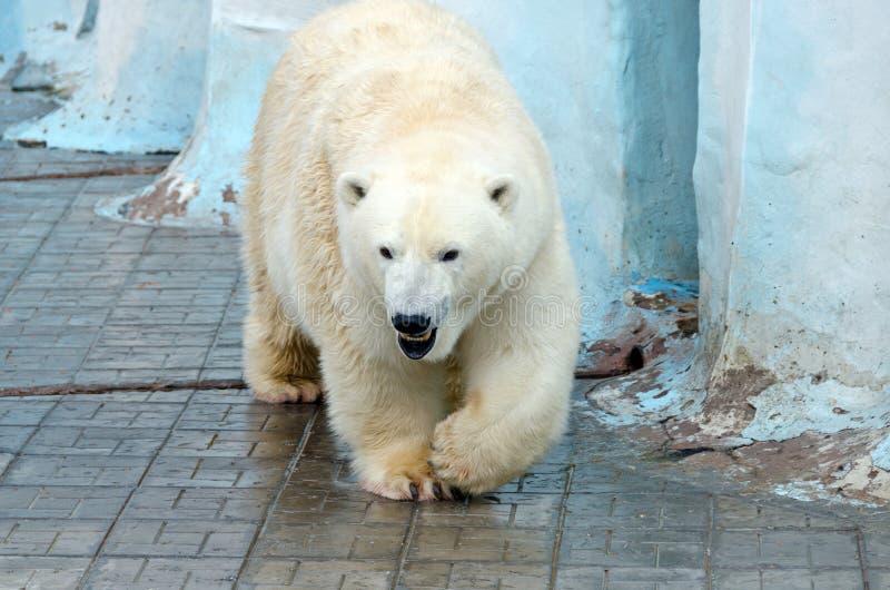 Oso polar blanco fotos de archivo
