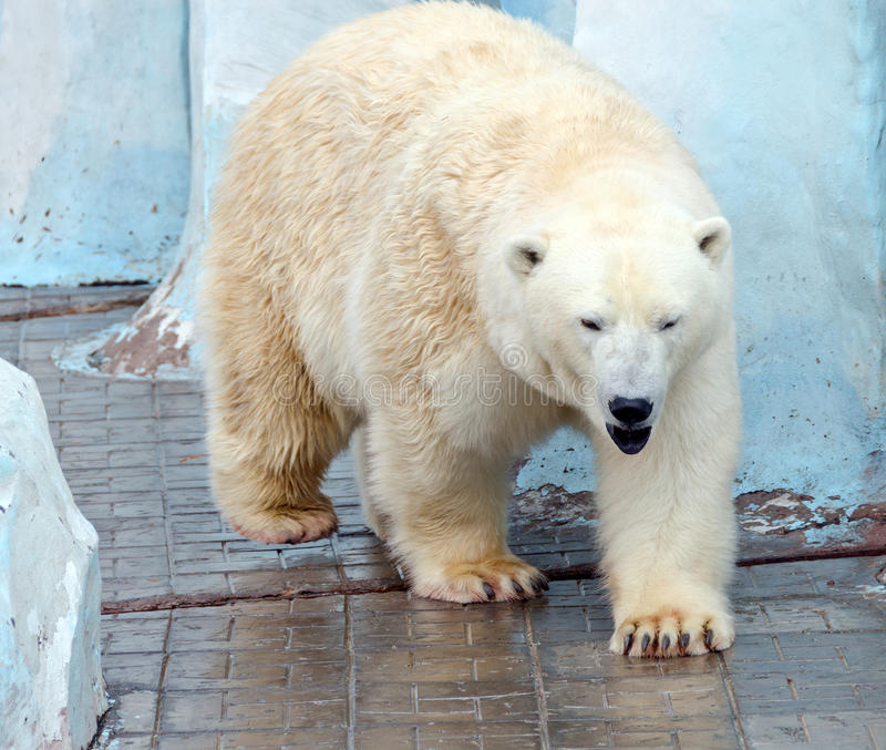 Oso polar blanco fotografía de archivo libre de regalías