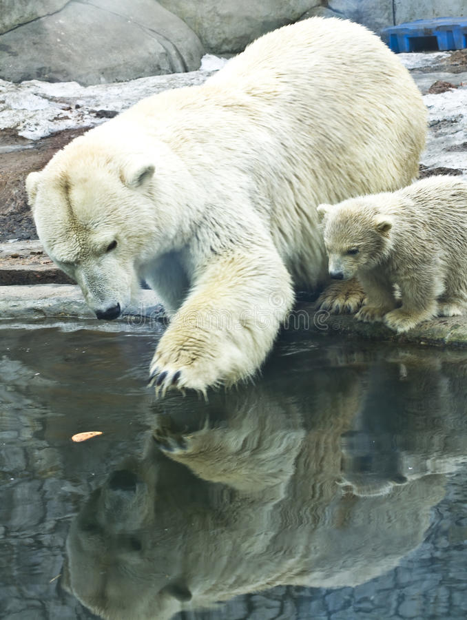 Oso polar blanco con el bebé fotos de archivo