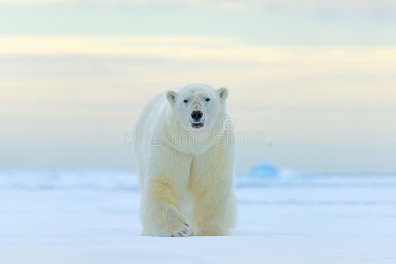 Oso polar, cara caminando en la nieve, invierno de Canadá Animal blanco en el hábitat de la naturaleza, América Escena de la faun fotos de archivo