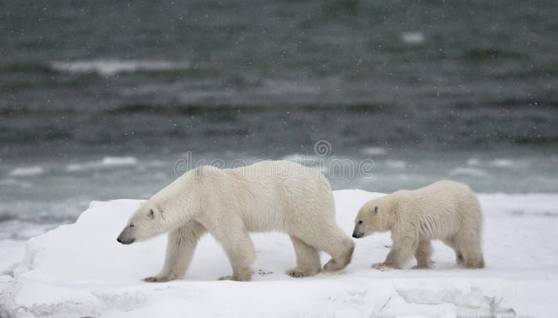 Oso polar con cachorros en la tundra canadá fotos de archivo libres de regalías