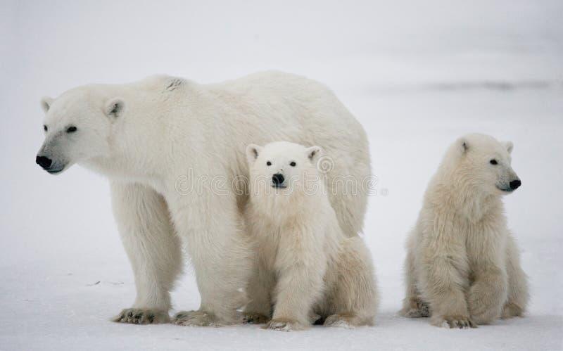 Oso polar con cachorros en la tundra canadá imagen de archivo