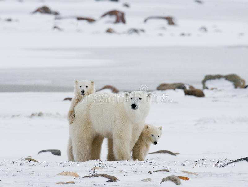 Oso polar con cachorros en la tundra canadá imagenes de archivo