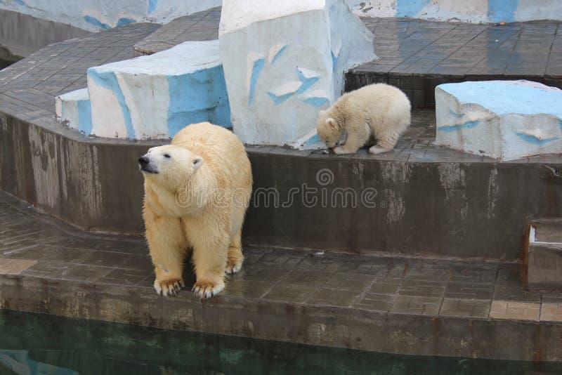 Oso polar con el cachorro fotos de archivo libres de regalías