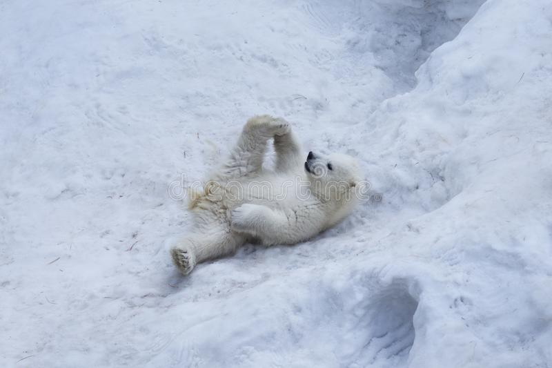 Oso polar con el cachorro Amor de madre fotografía de archivo