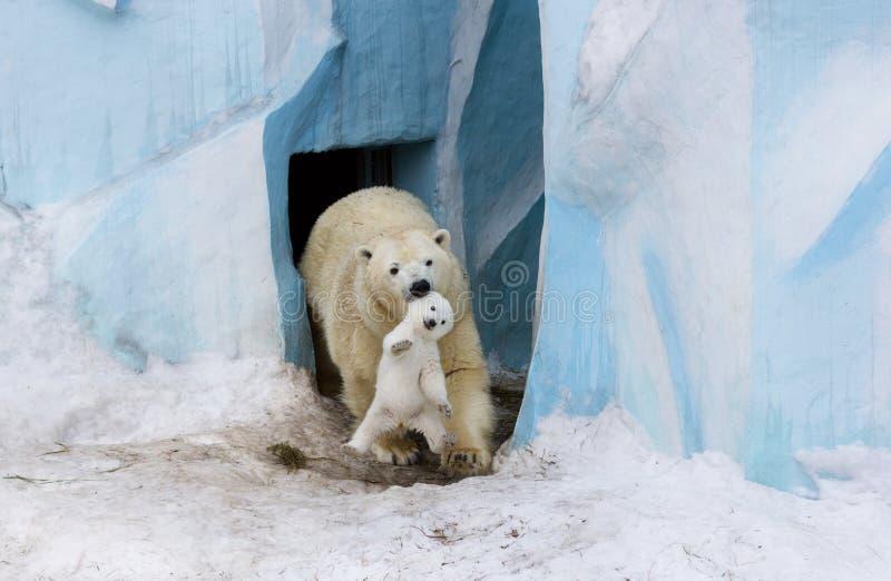 Oso polar con el cachorro Amor de madre imagenes de archivo