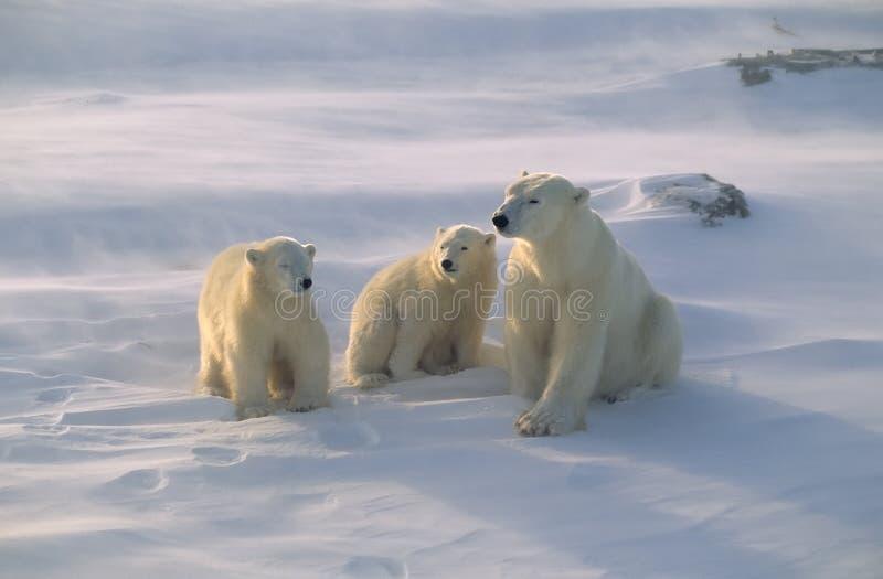 Oso polar con sus cachorros imagen de archivo
