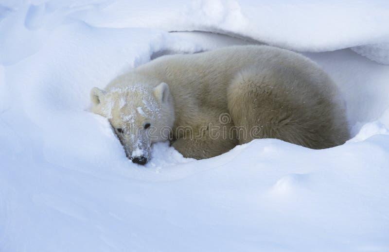Oso polar de Canadá Churchill que miente en nieve imagen de archivo libre de regalías