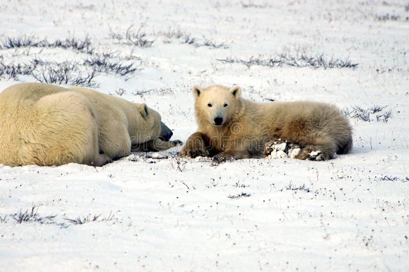Oso polar de la madre y del cachorro imagenes de archivo