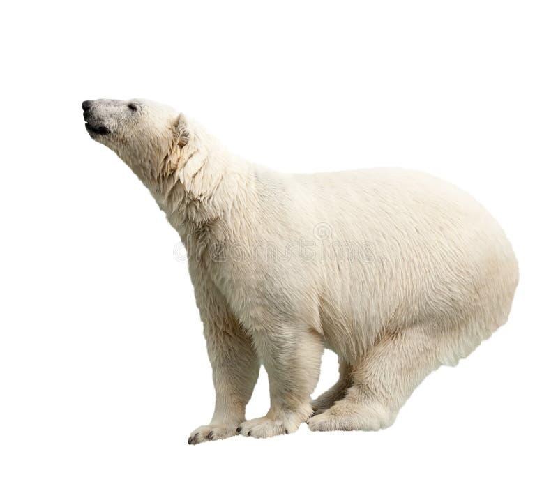 Oso polar derecho foto de archivo libre de regalías