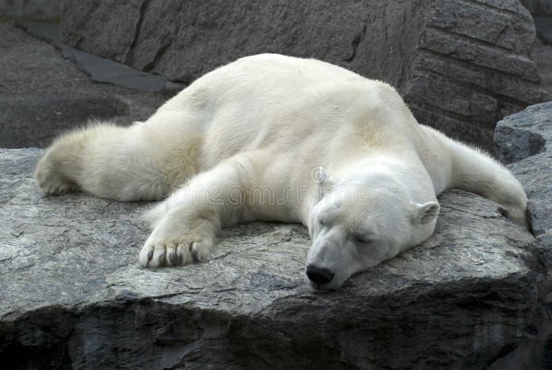 Oso polar el dormir perezoso imagenes de archivo