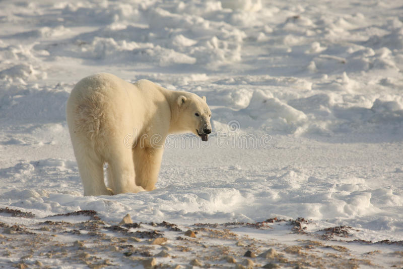 Oso polar en el ártico imagen de archivo