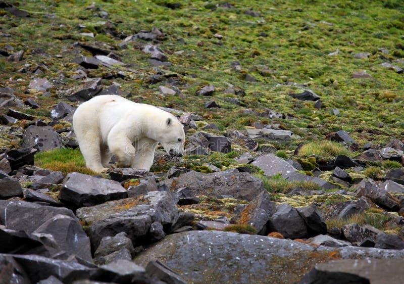 Oso polar en el ártico del verano imagen de archivo libre de regalías