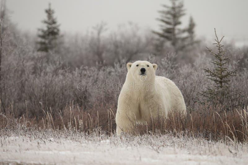Oso polar en el ártico sub en Hudson Bay Manitoba fotos de archivo libres de regalías