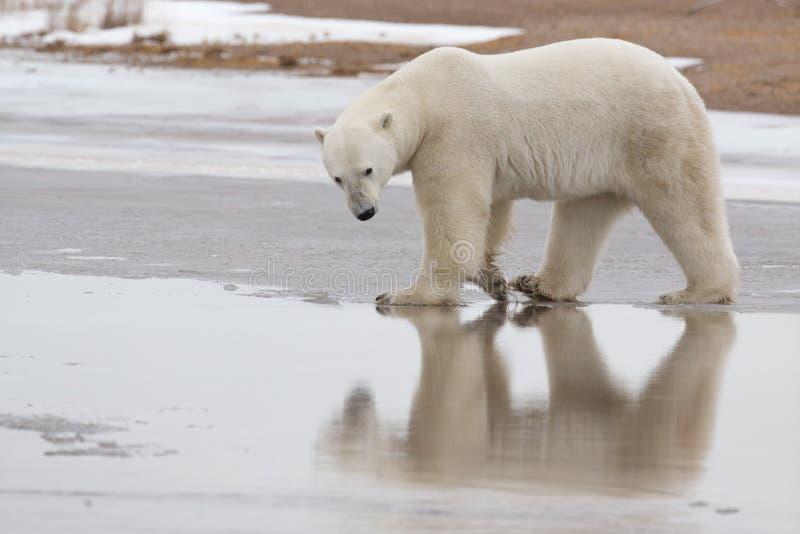 Oso polar en el ártico sub en Hudson Bay Manitoba imágenes de archivo libres de regalías
