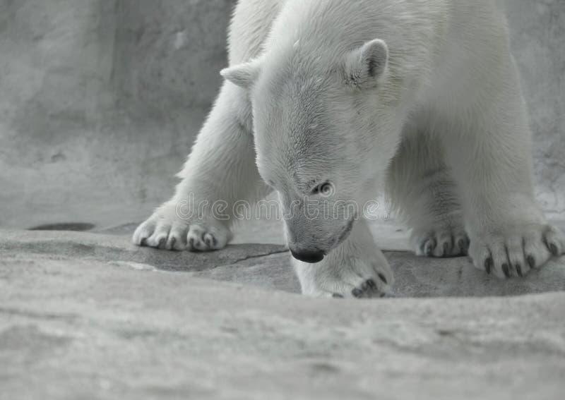Oso polar en el juego fotos de archivo