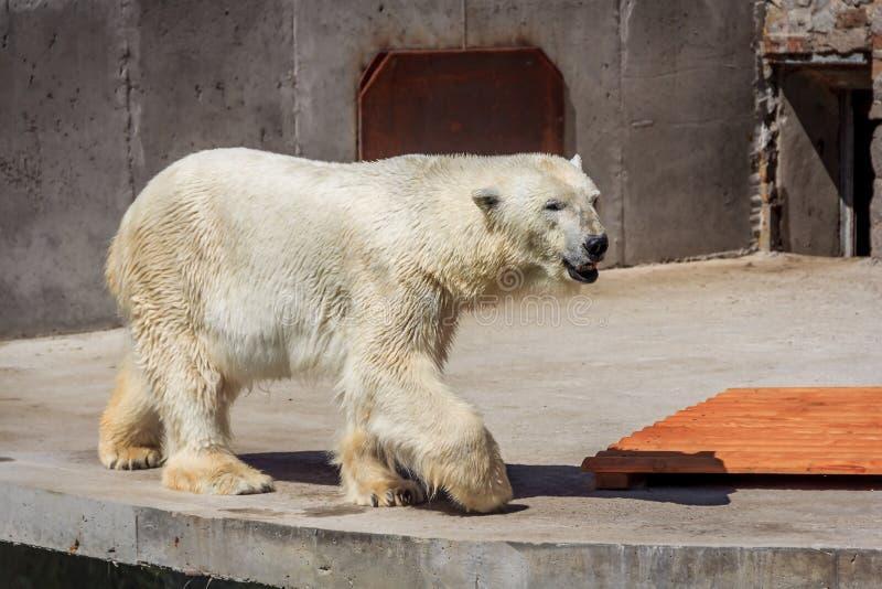 Oso polar en el parque zoológico, oso polar en cautiverio fotos de archivo libres de regalías