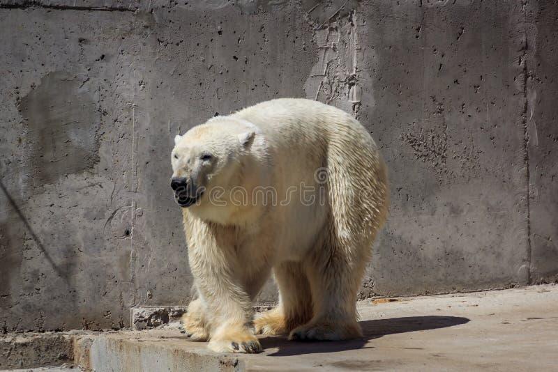 Oso polar en el parque zoológico, oso polar en cautiverio fotos de archivo