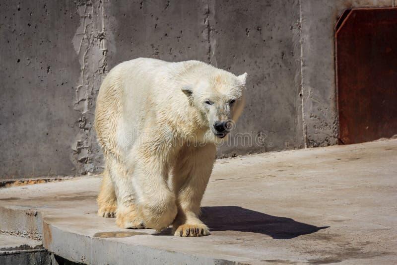 Oso polar en el parque zoológico, oso polar en cautiverio fotografía de archivo libre de regalías