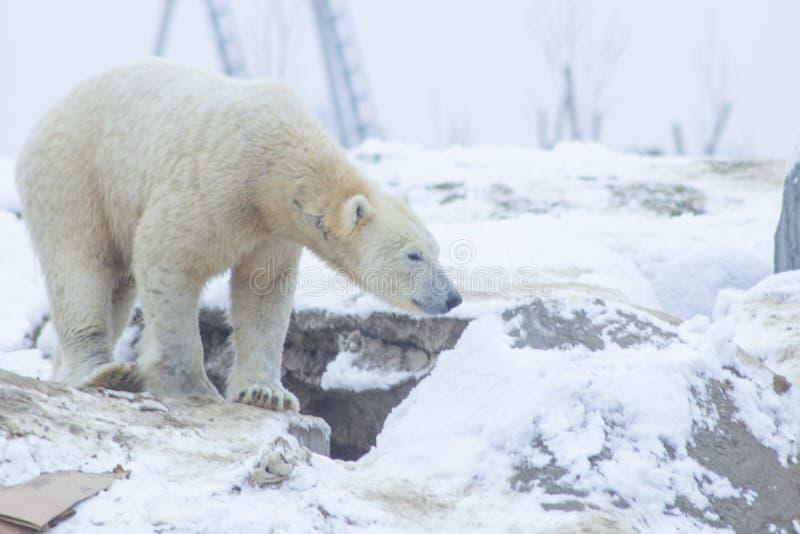 Oso polar en la nieve fotografía de archivo