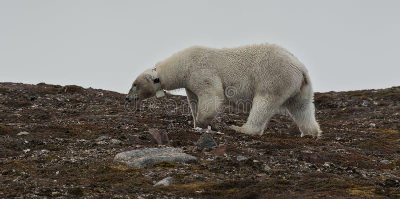 Oso polar femenino con el cuello en Andøyane, Liefdefjorden, Spitsbergen imagenes de archivo