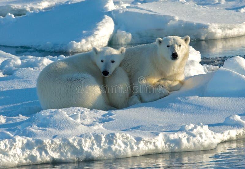 Oso polar, IJsbeer, maritimus del Ursus imagen de archivo libre de regalías