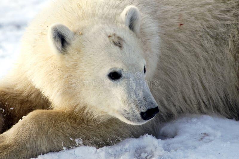 Oso polar joven foto de archivo libre de regalías