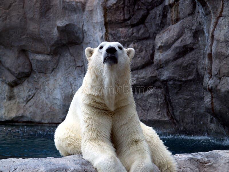Oso polar orgulloso foto de archivo libre de regalías