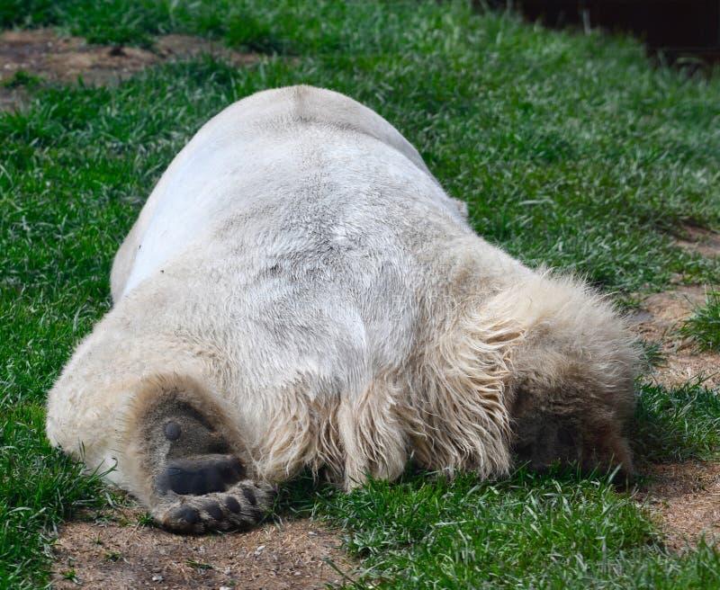 Oso polar que duerme en una colina imagenes de archivo