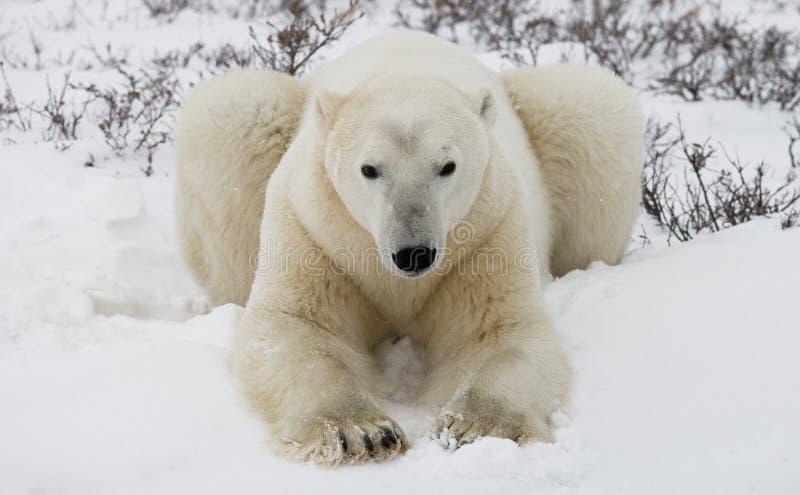 Oso polar que miente en nieve en la tundra canadá Parque nacional de Churchill imágenes de archivo libres de regalías